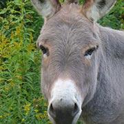 Meet Dazzle: Donkey-at-Large